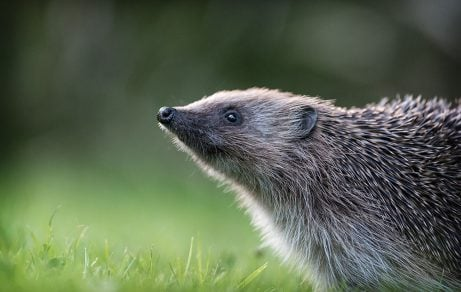 How to help hedgehogs in your garden