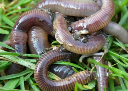 Earthworms on grass