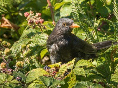 Male blackbird in brambles