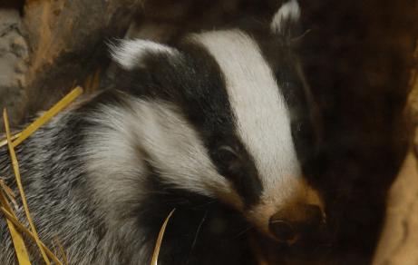 How to help badgers in your garden