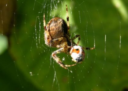 Spider on web with eggs