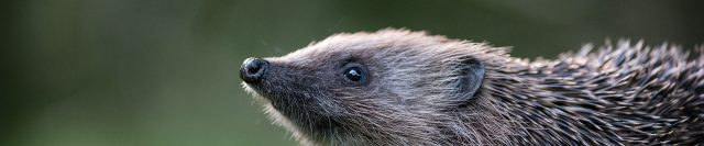 Hedgehog with its snout in the air