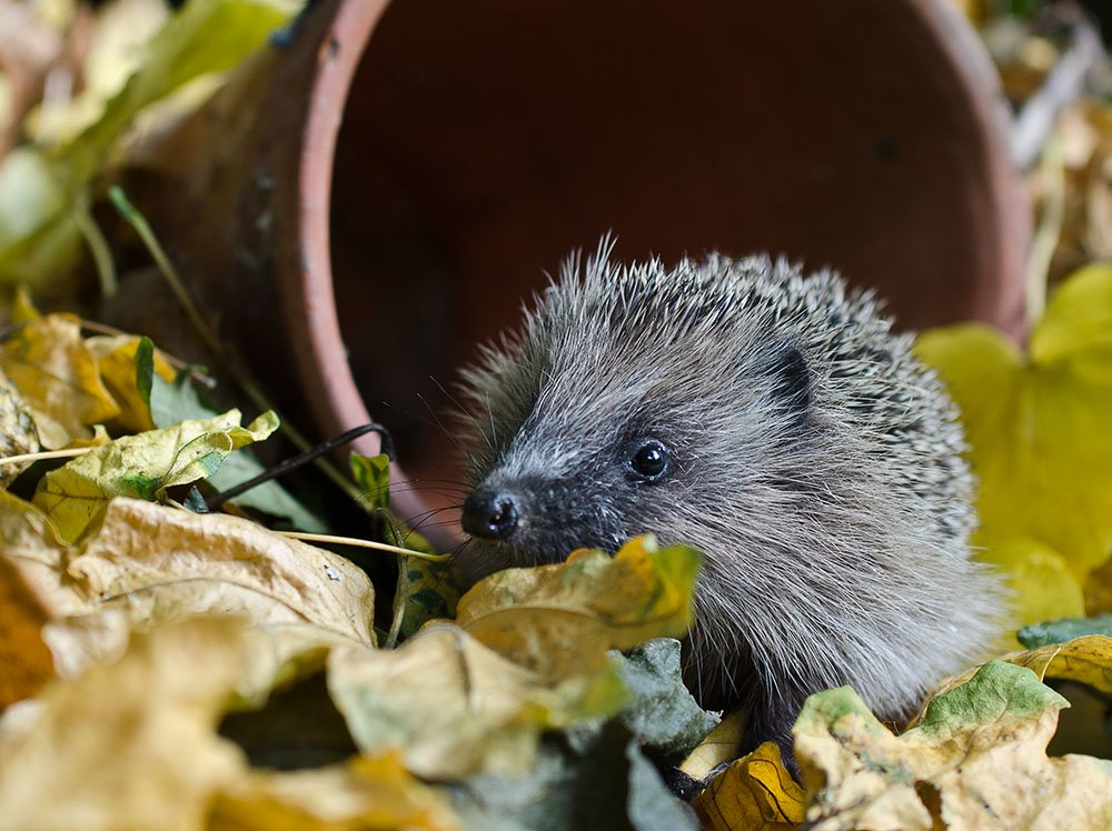 Hoglet in leaves near a plant pot