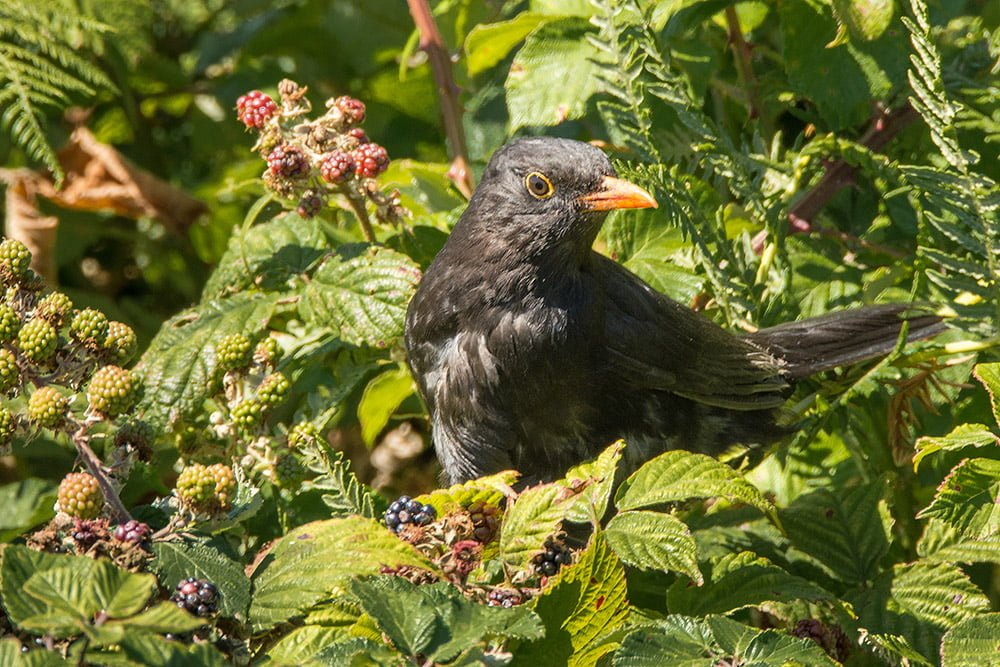 Male blackbird in brambles