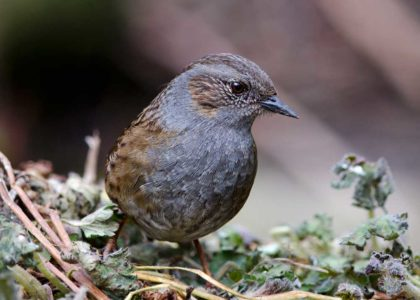 A dunnock on the ground