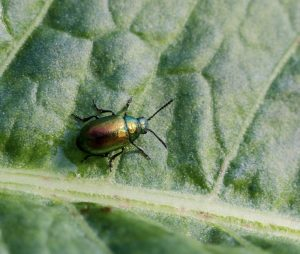 Leaf beetle on leaf