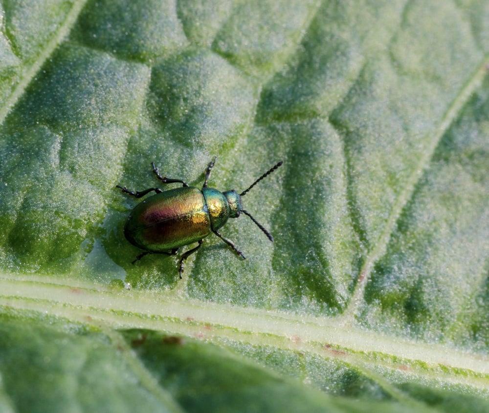 Leaf beetle on leaf