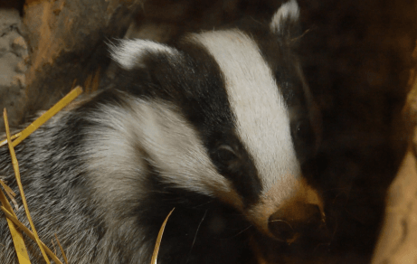 How to help badgers in your garden