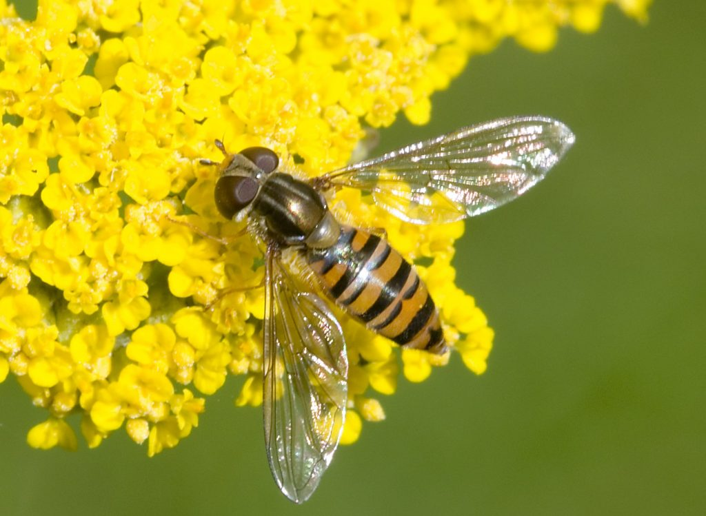 Hoverfly on yellow flowers