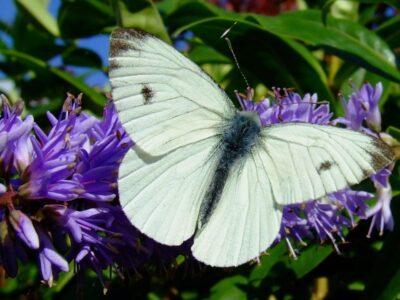 Butterfly on purple flower in a wildlife garden