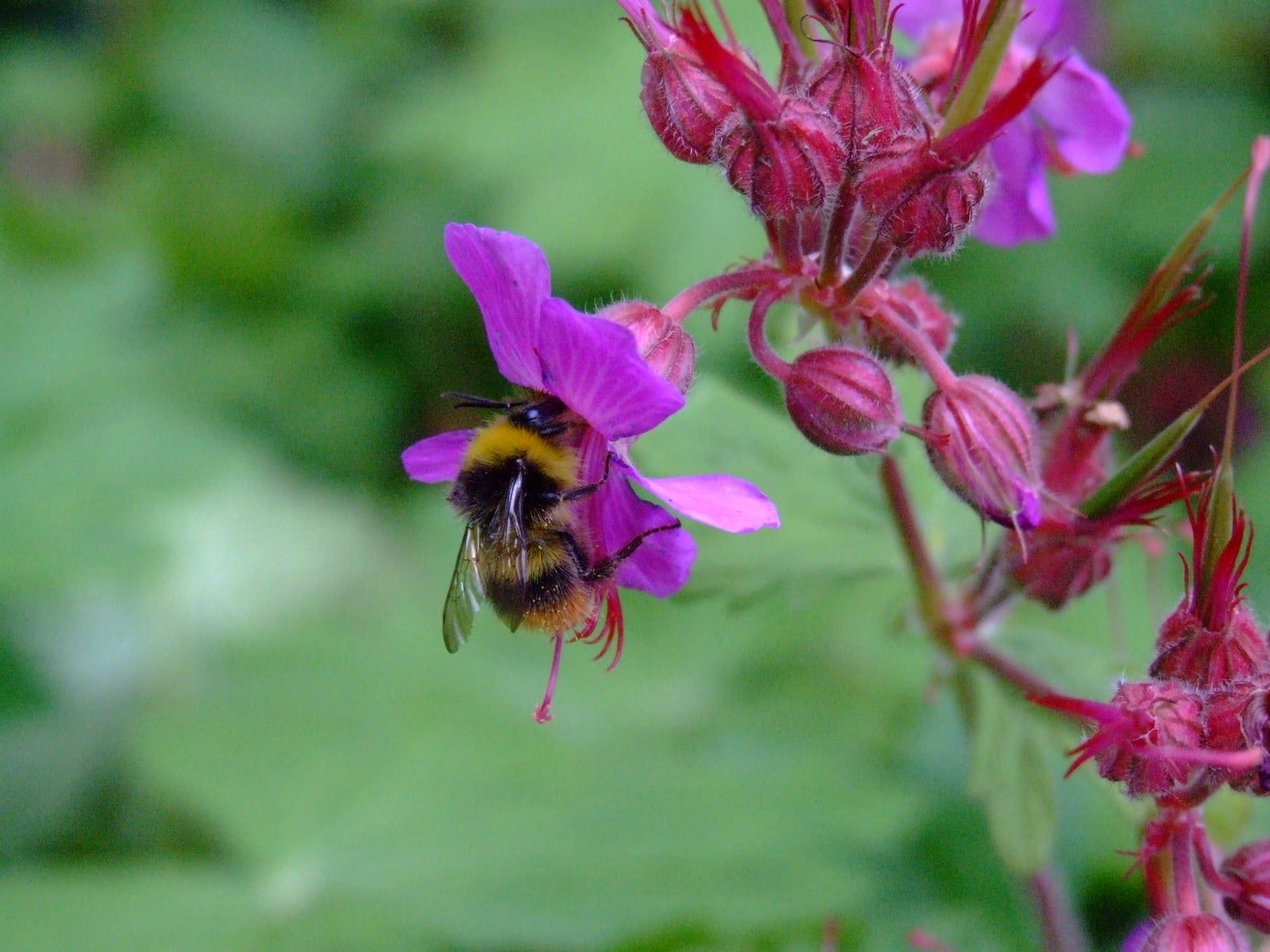 Bee on fuschia