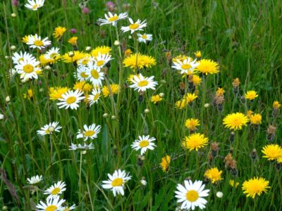 Daisies and dandelions in a lawn