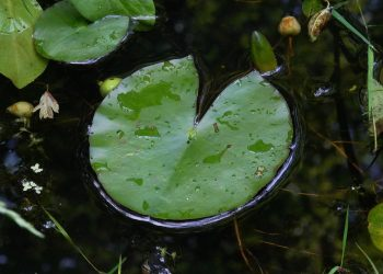 Lilypad on pond