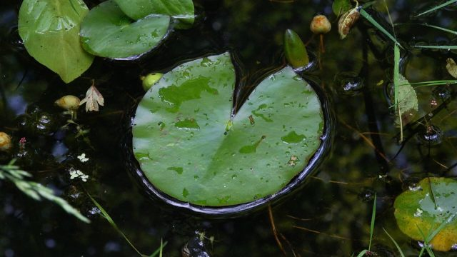 Lilypad on pond