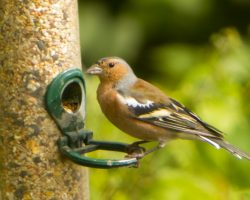 Chaffinch on feeder