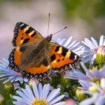 Small tortoiseshell butterfly on purple flowers