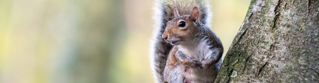 Grey Squirrel in a tree