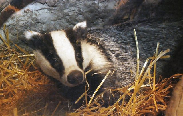 Badger in straw