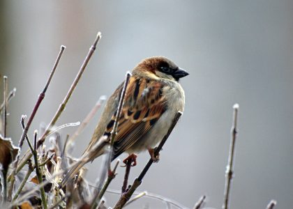 House sparrow on tree
