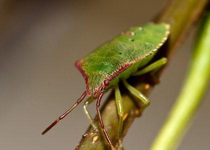 Hawthorn shield bug on a stem