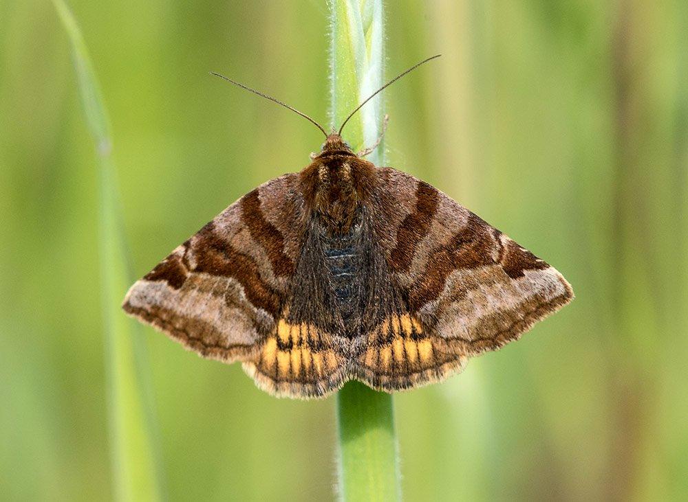 Burnet Companion Euclidia Glyphica moth