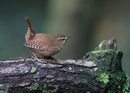 Wren on log