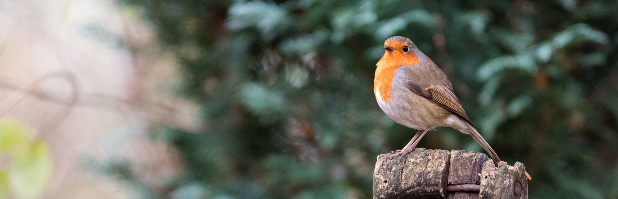 A robin sitting on a spade handle