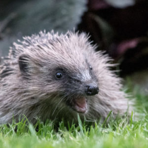 Hedgehog with open mouth
