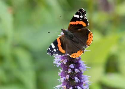 Red Admiral butterfly on purple flower