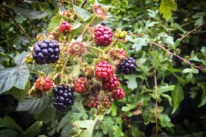 Blackberries growing