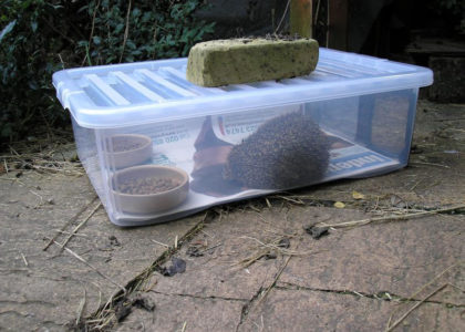 Hedgehog in a hedgehog feeding station