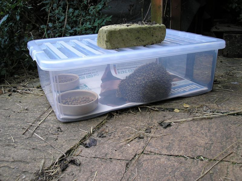 Hedgehog in a hedgehog feeding station