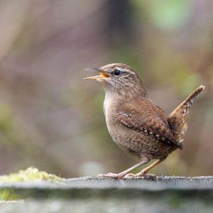 Wren with open beak