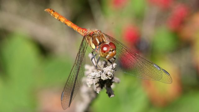A male Common Darter dragonfly perching
